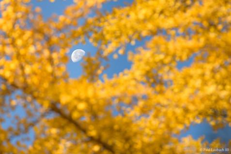 Gingko Moon