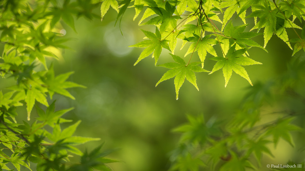 Summer Maples