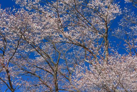 Blue Sky Blossoms