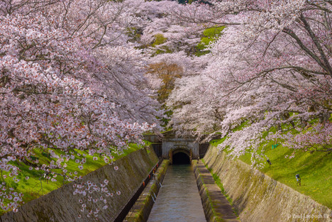Biwako Canal Blossoms