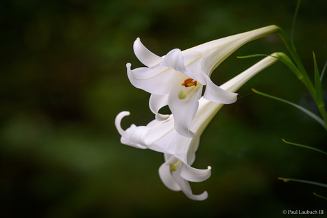 Trumpet Lily
