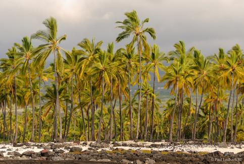 Puʻuohonua O Hōnaunau Palms