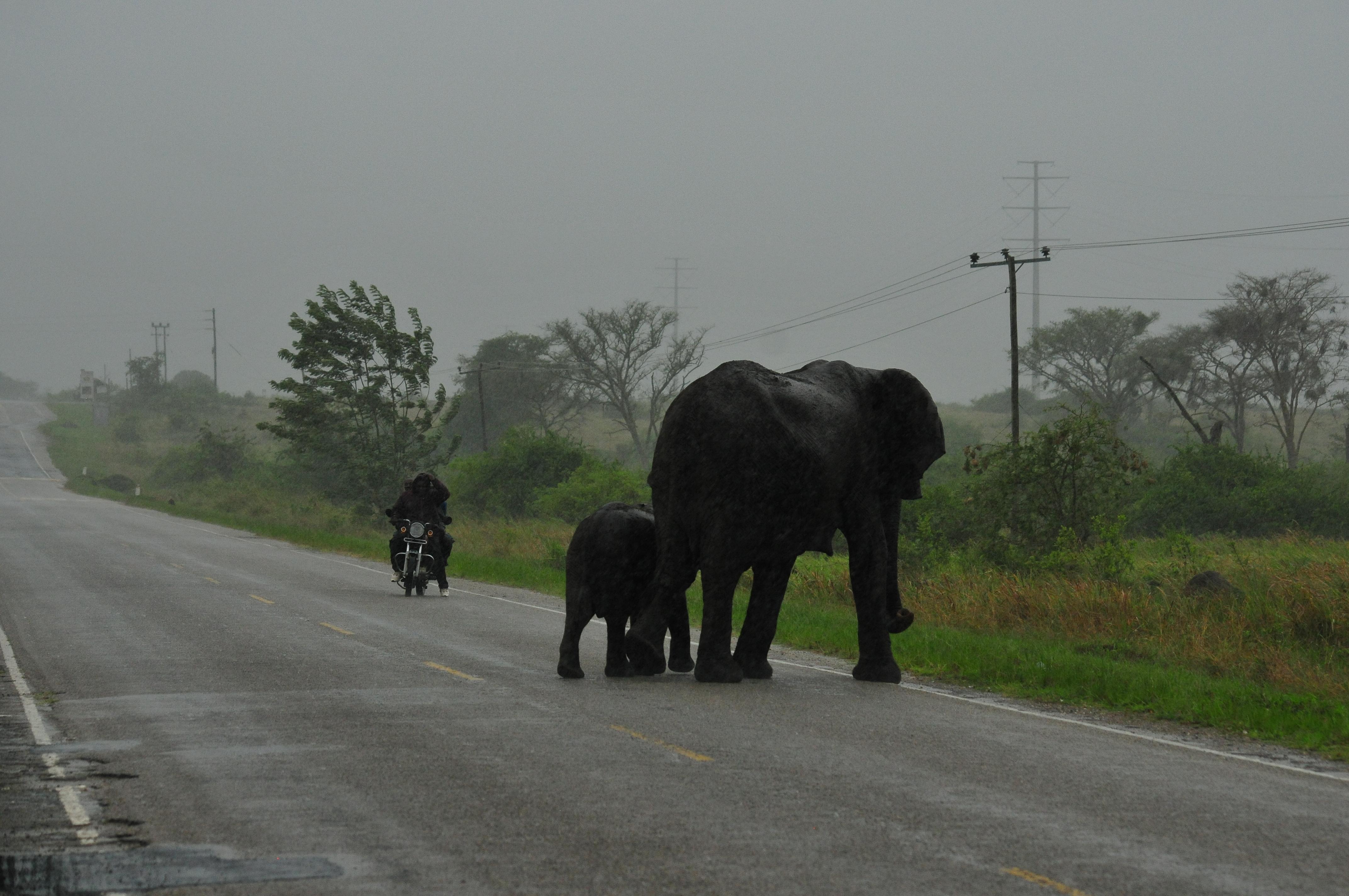 Elefanten überqueren eine Straße