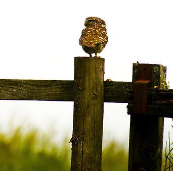 littleowl.jpg