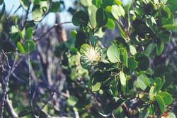 Flowering mangrove.jpg