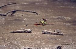 Mudskippers 2