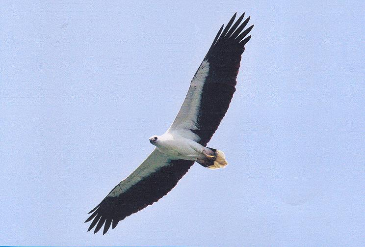 White-bellied sea eagle.jpg