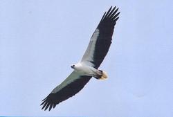 White-bellied sea eagle.jpg