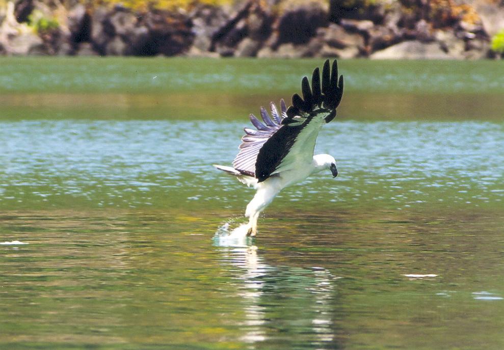 Eagle feeding.jpg