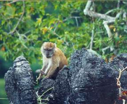 Long-tailed Maccaque