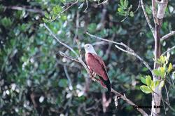 Brahminy Kite 2
