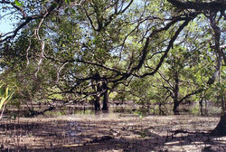 Low tide at the mangrove forest.jpg