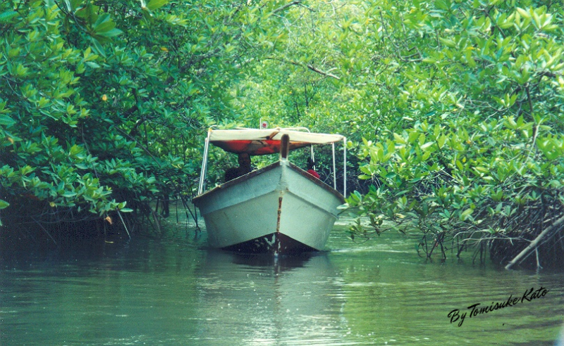 In the mangrove forest