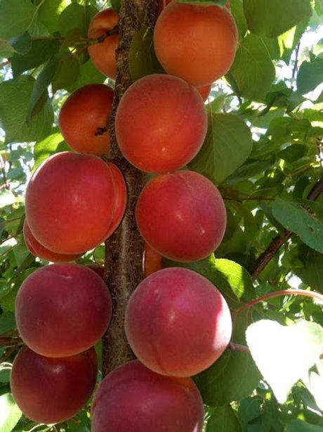 Abricot rouge de France
