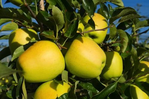 Pommes du Limousin