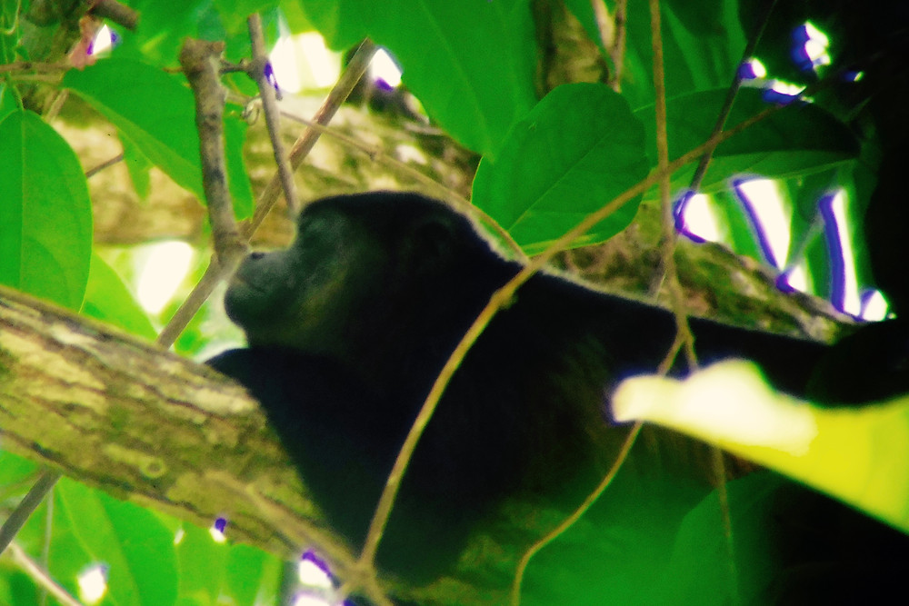 A howler monkey I captured doing nothing in Manuel Antonio, CR