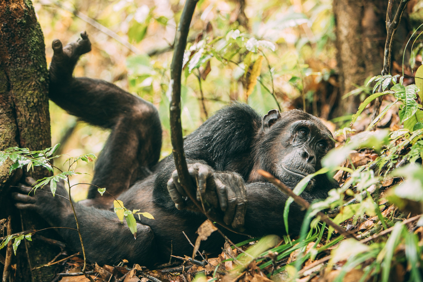 Relaxed Chimpanzee at Greystokes, Mahale, Tanzania