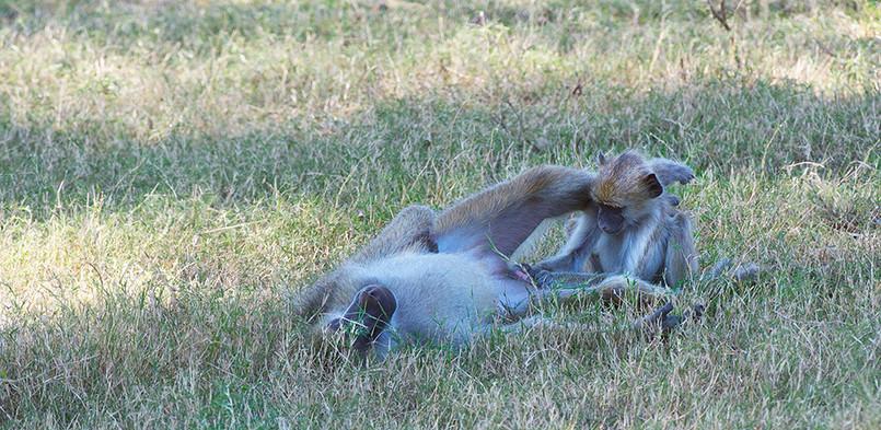 Baboons Grooming South Luangwa Zikomo Zambia