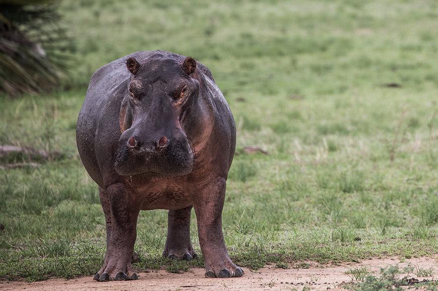 Hippo Nyerere Ruaha Tanzania