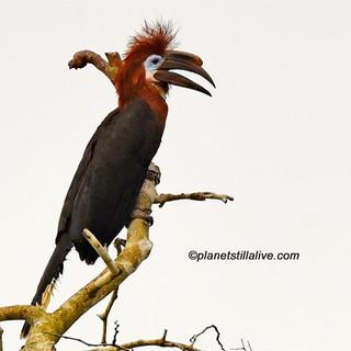 Black-casqued Hornbill Female