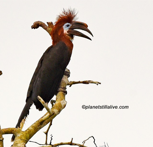 Black-casqued Hornbill Female