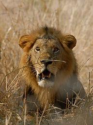 Lion Jongomer Ruaha Tanzania