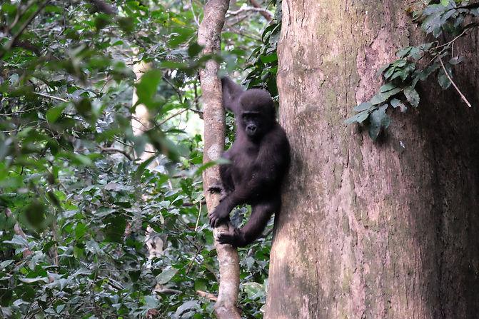 Baby Western Lowland Gorilla Loango Gabon