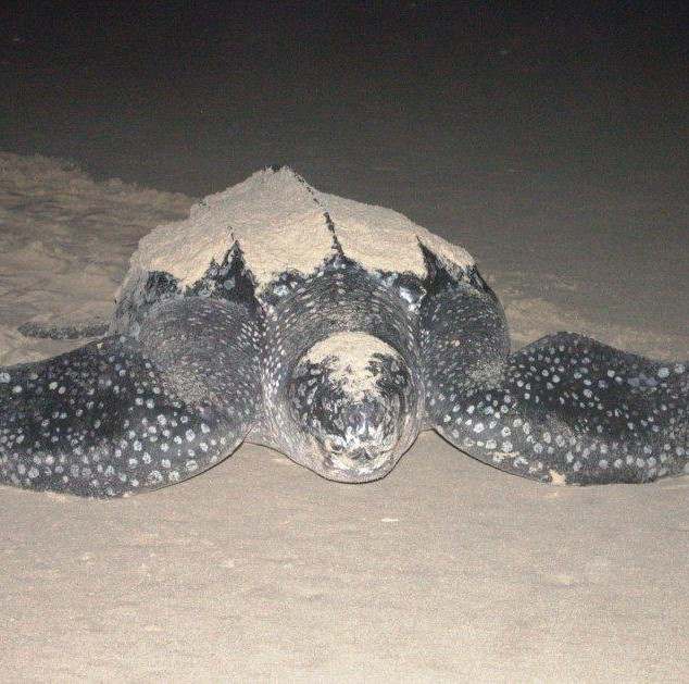 Leatherback Turtle visiting for Nesting