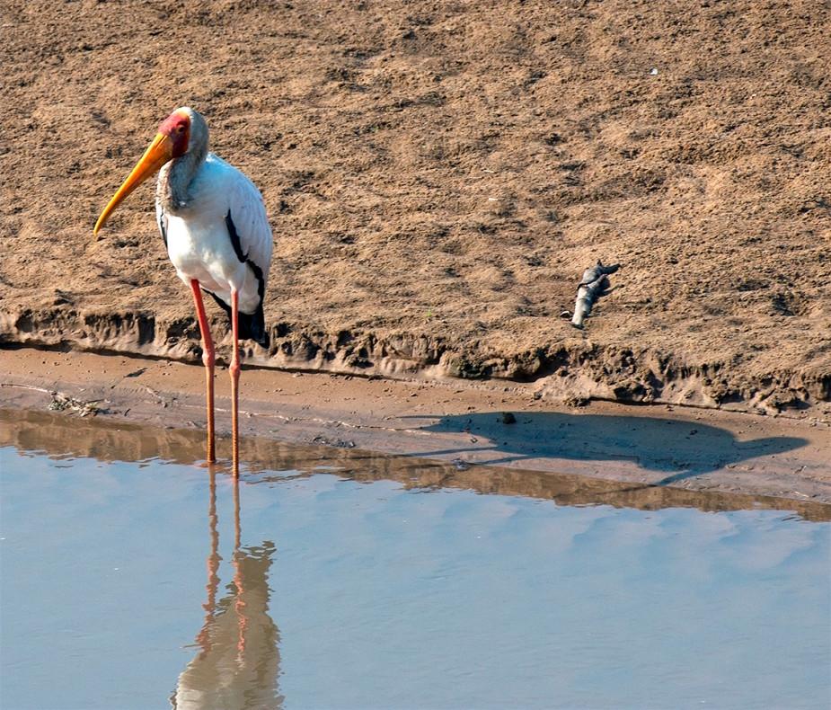 Yellow Billed Stork South Luangwa Zikomo Zambia
