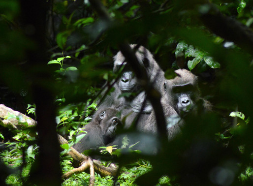 Guide to Lowland Gorilla Trekking in Loango