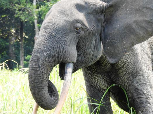 Akaka elephant Loango Gabon