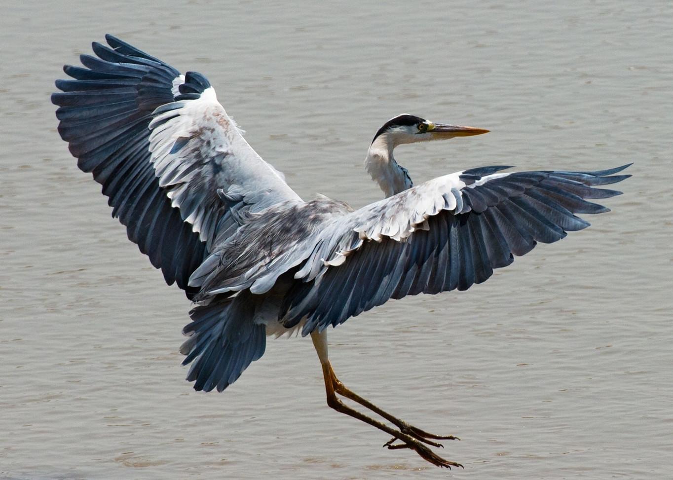 Grey Heron South Luangwa Zikomo Zambia