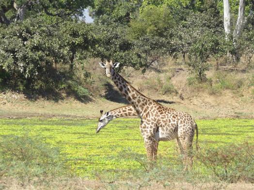 Thornicroft's Giraffe South Luangwa Zikomo Zambia