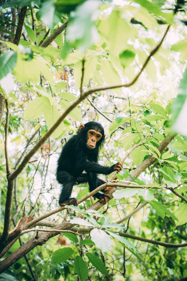 Young Chimpanzee at Greystokes, Mahale, Tanzania