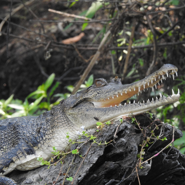 Central African Slender Snouted Crocodile