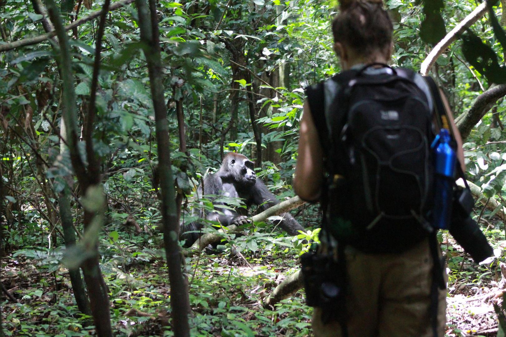 Studying Silverback Kamaya, Loango Gabon