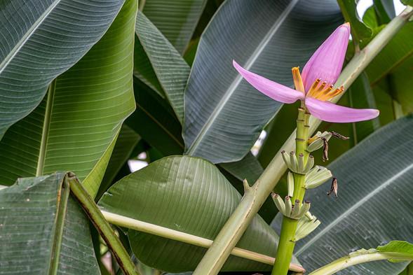 Roca Sundy Flower Príncipe