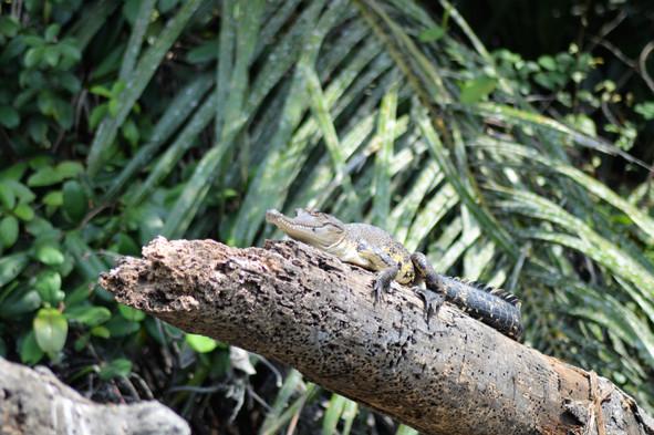 Slender Snout Crocodile Akaka Loango Gabon