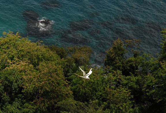 Roça Belo Monte White Tailed Tropic Bird Príncipe