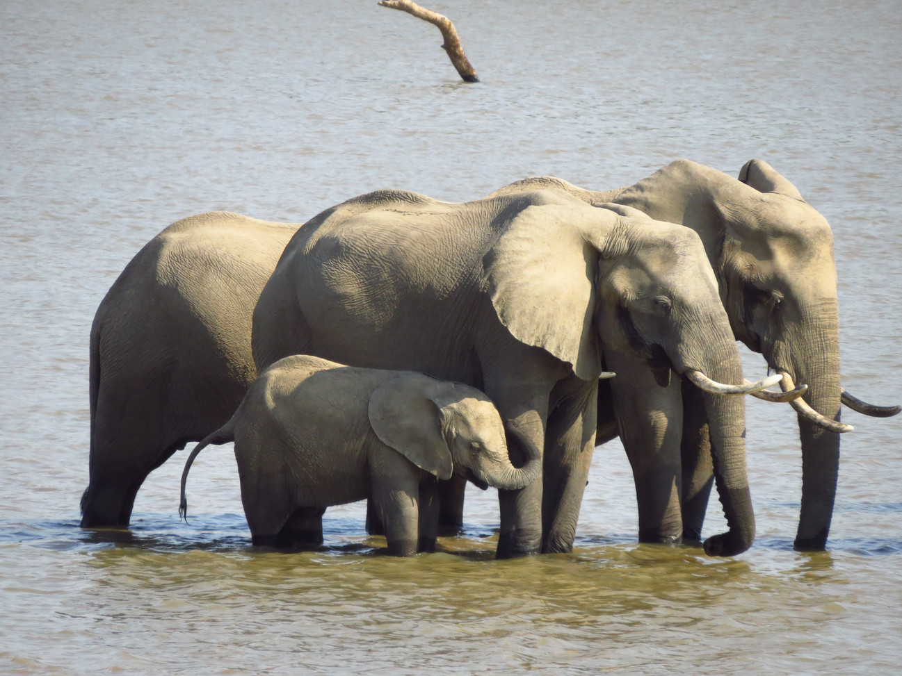 Elephants South Luangwa Zikomo Zambia