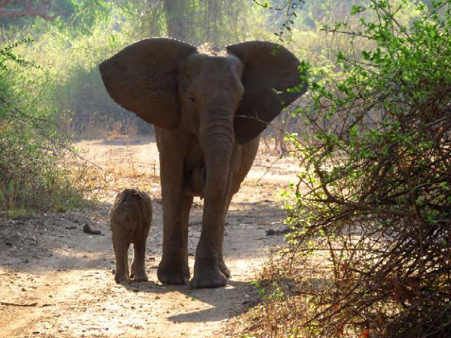 Elephant Mother and Baby South Luangwa Zikomo Zambia