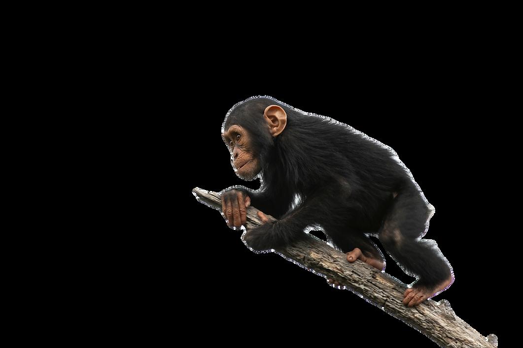 chimpanzee%20on%20a%20branch%2C%20isolat