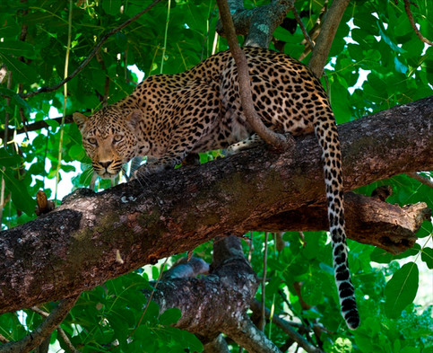 Leopard South Luangwa Zambia