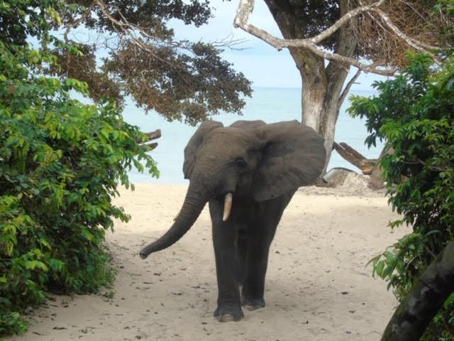 Elephant at Pongara Lodge Restaurant Gab