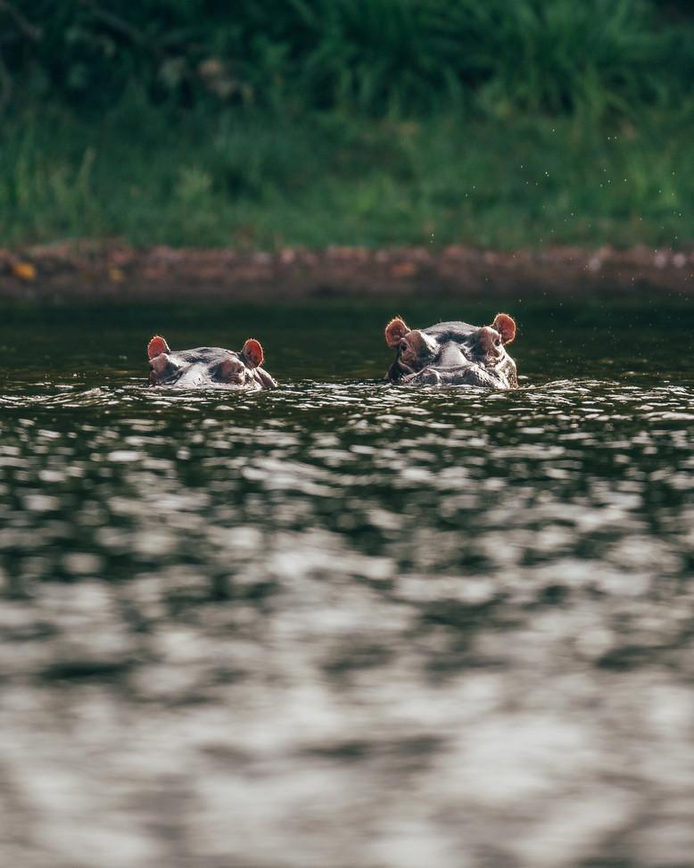 Hippos Rubondo Island Tanzania