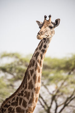 Giraffe Ruaha Nyerere Tanzania