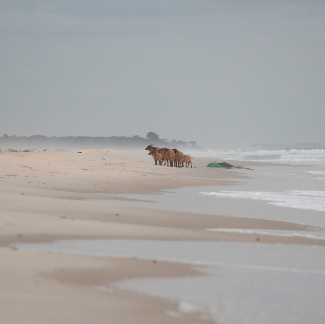 Buffalos on the Beach