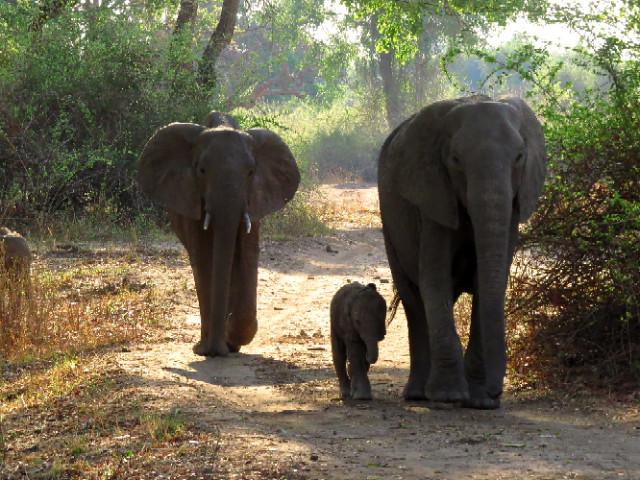 African Elephants with Baby, South Luangwa, Zikomo Zambia