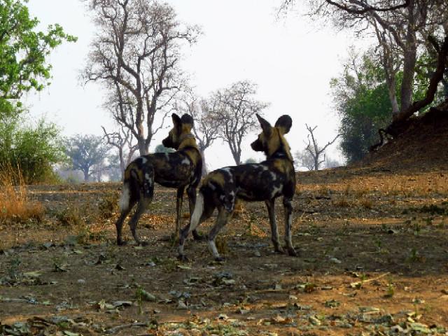 Wild Painted Dog South Luangwa Zikomo Zambia