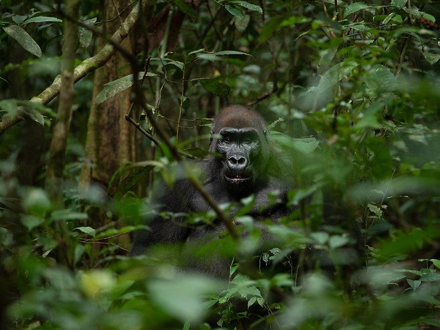 Gorilla Trekking Packages Loango Gabon